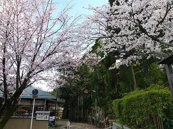 嵯峨野 桜